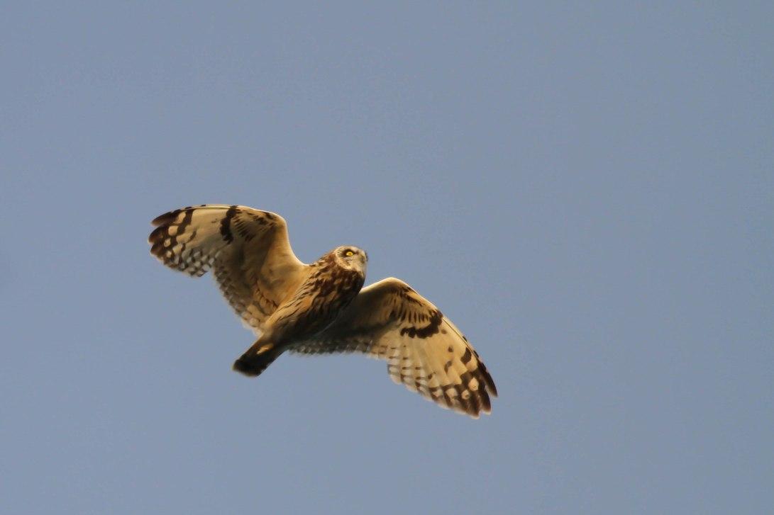 11 GND Short-Eared Owl