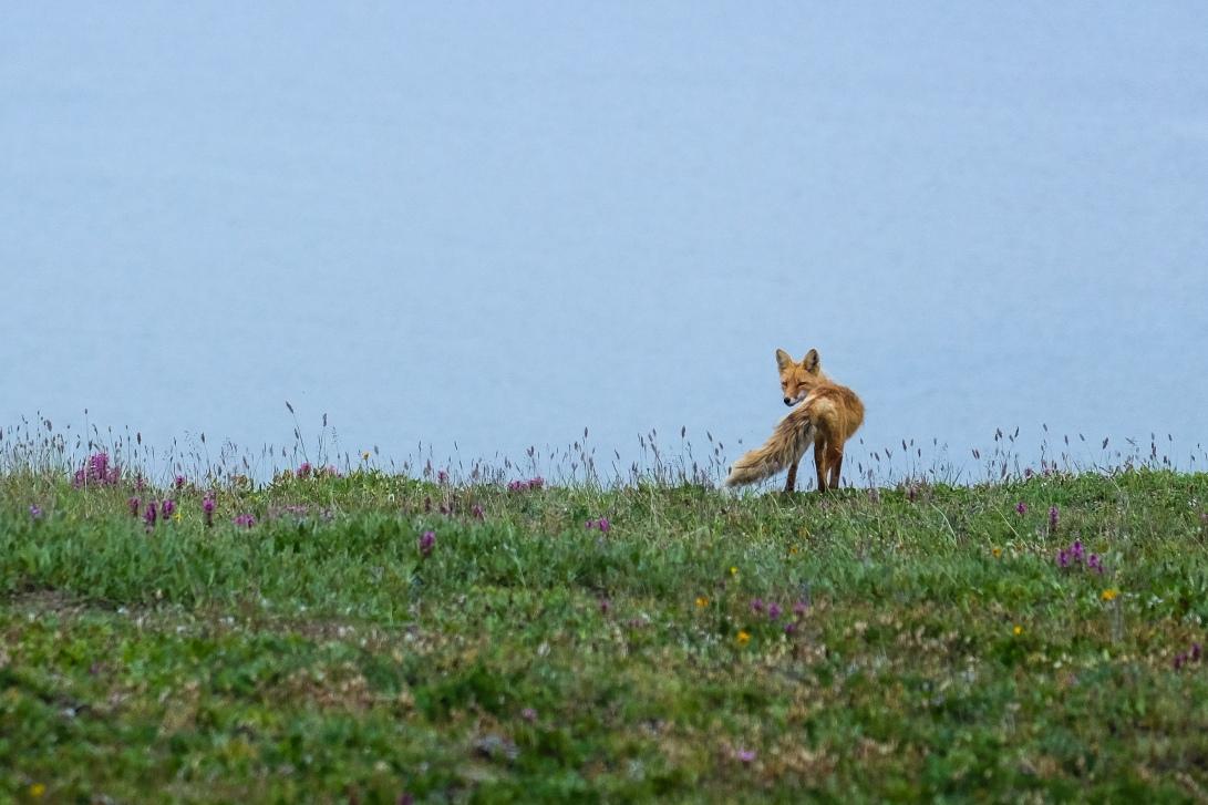 7 SAB Fox