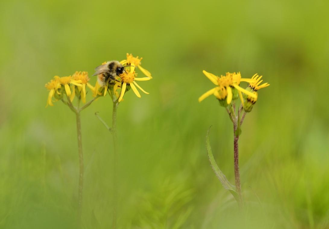 8 SAB Bumble Bee