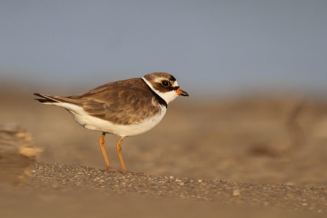 9 GND Plover on the Beach