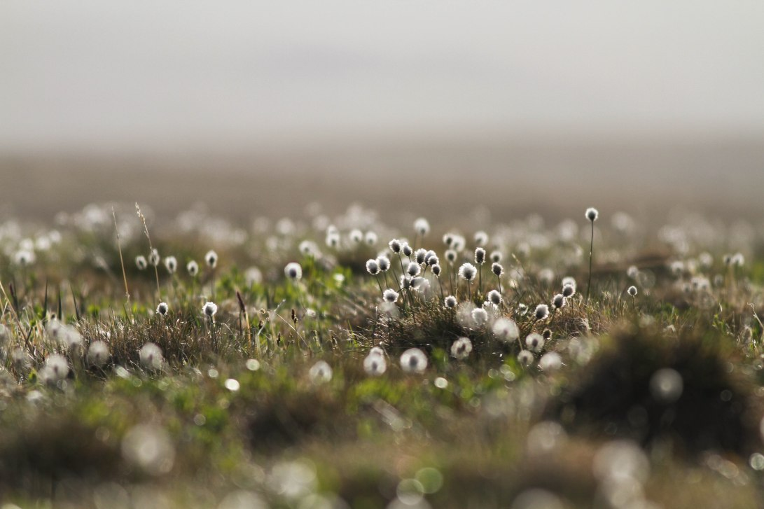 2 GND Cottongrass
