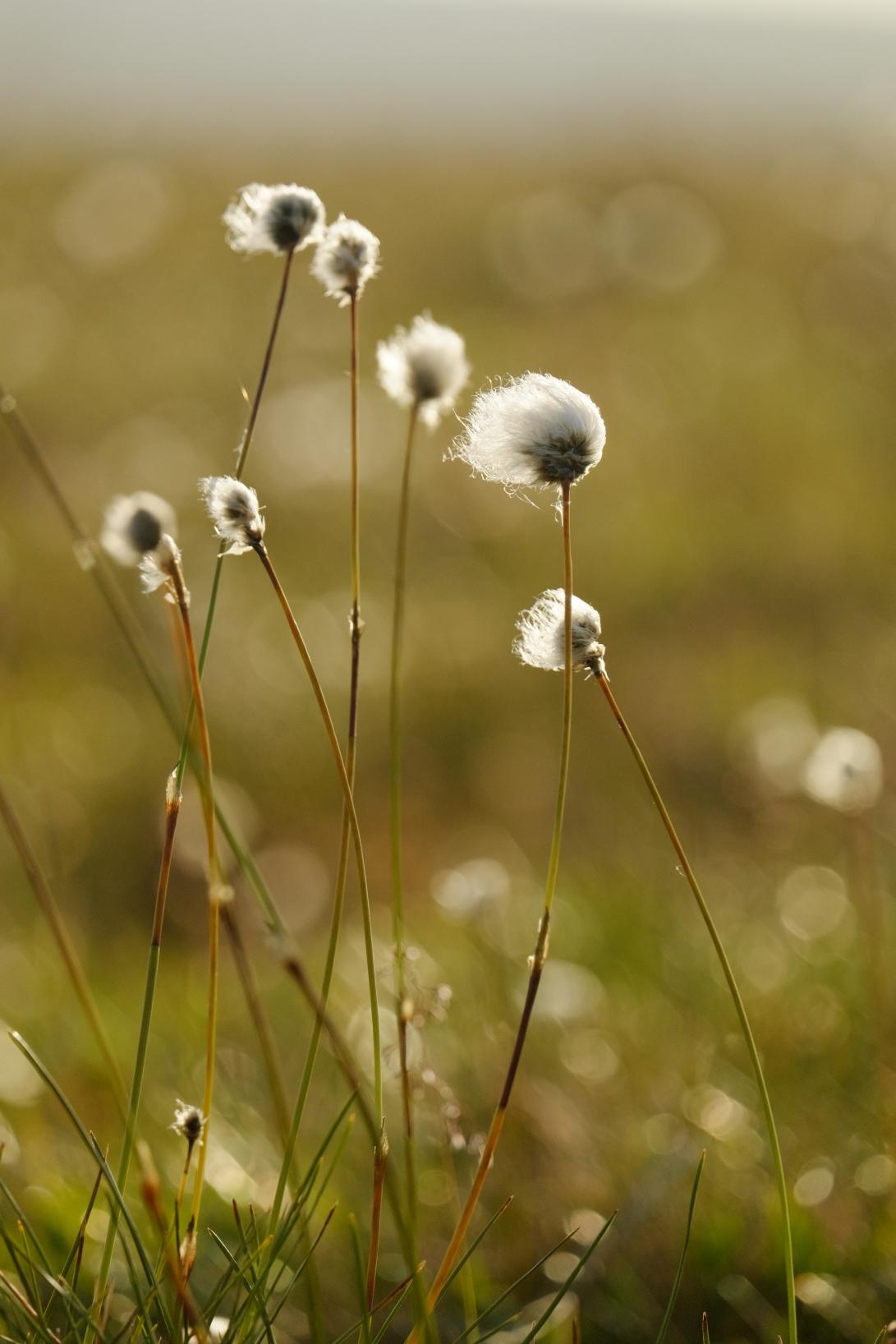 8 SAB Cottongrass 2